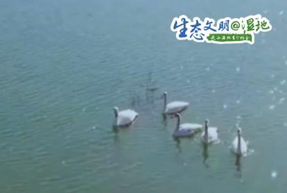 <strong>陕西渭南各处湿地成为候鸟栖息乐园</strong>